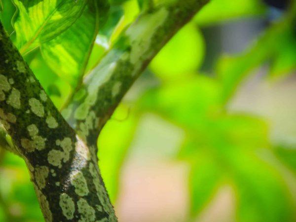 Green Konjac tree (Amorphophallus konjac) in the forest, also known as konjak, konjaku, konnyaku potato, devil's tongue, voodoo lily, snake palm, or elephant yam.