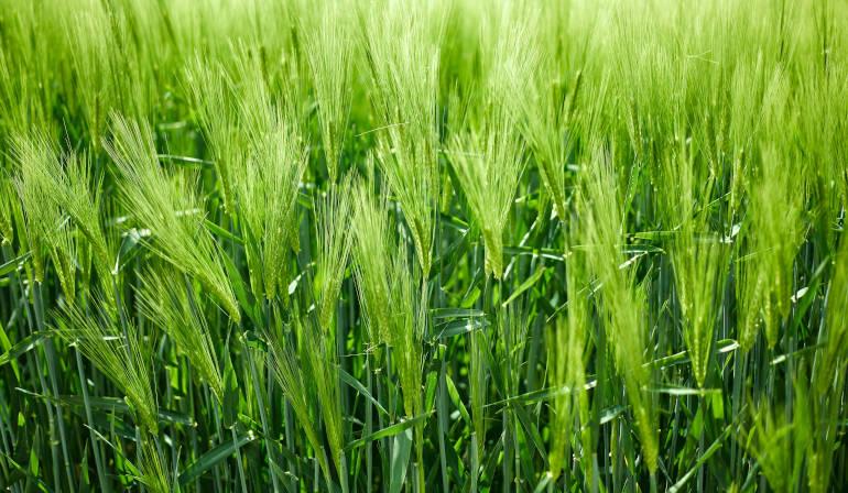 Gerstengrassaft-1